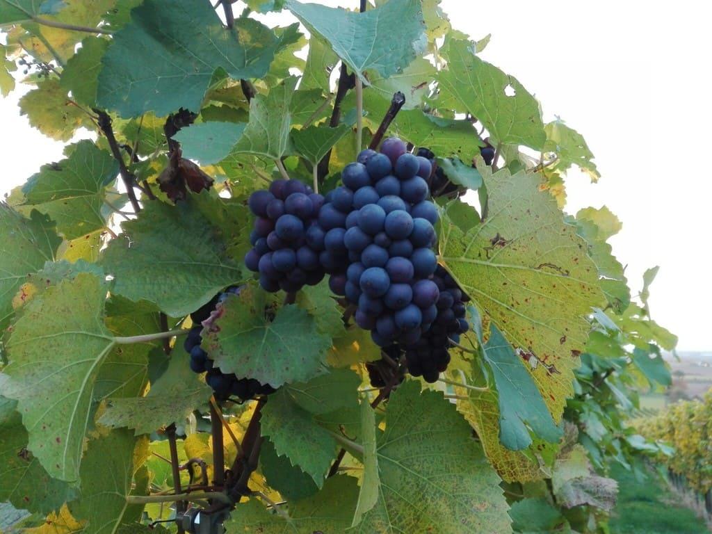 Uvas maduras en Alemania